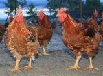 Comprar Pollo ecológico